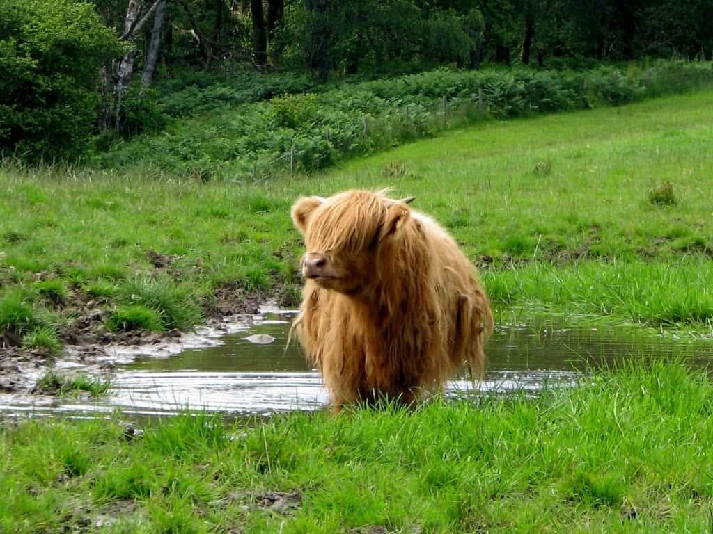 Highland cow near Loch Lomond