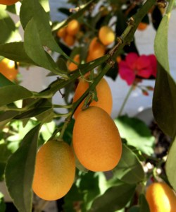 How to Eat a Kumquat – The Strangely Counterintuitive Thing to do to Make it as Sweet as Candy!