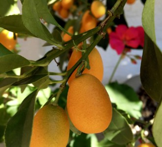 kumquats on a tree