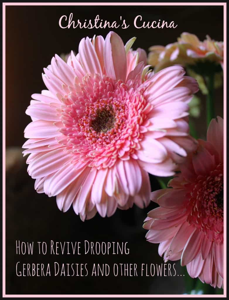 How to revive drooping gerbera daisies