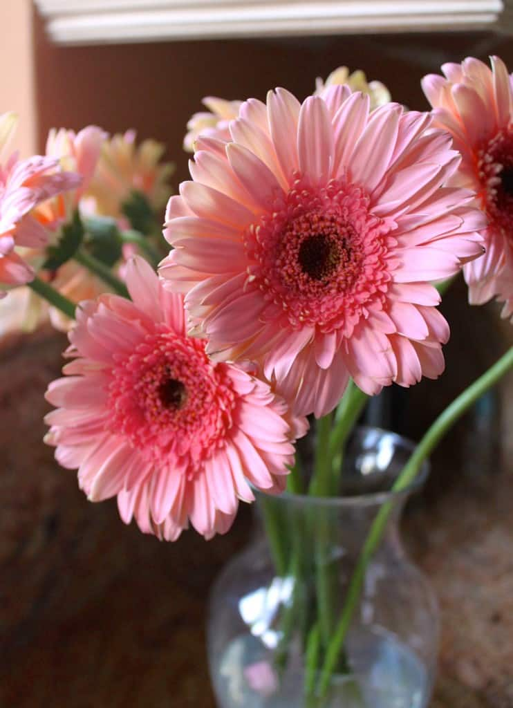 How to Revive Gerbera Daisies - Christina's Cucina