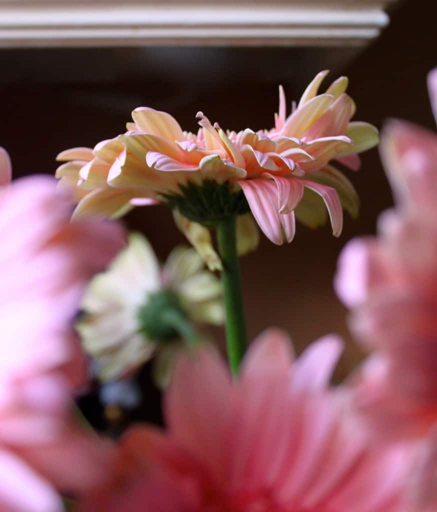 Reviving Gerbera Daisies