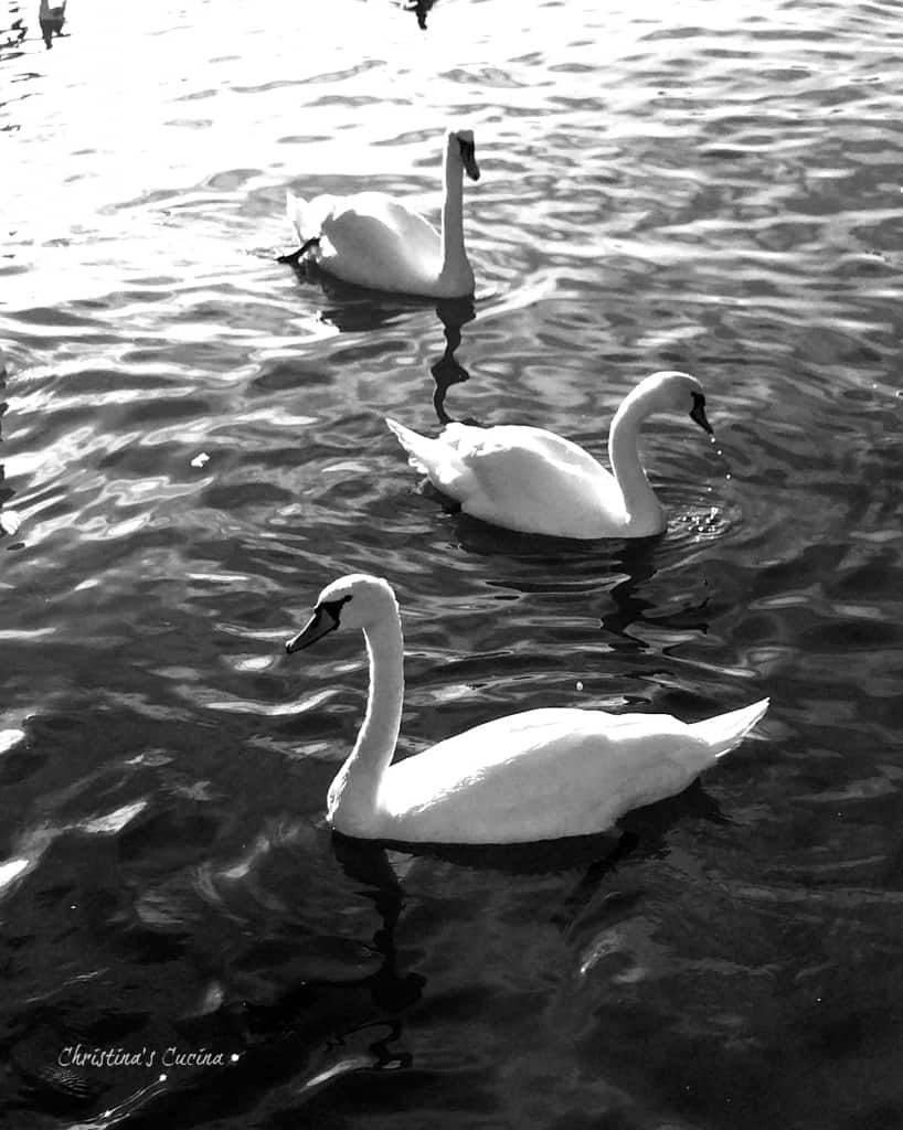 Black and white swans on Lake Geneva Christinas Cucina