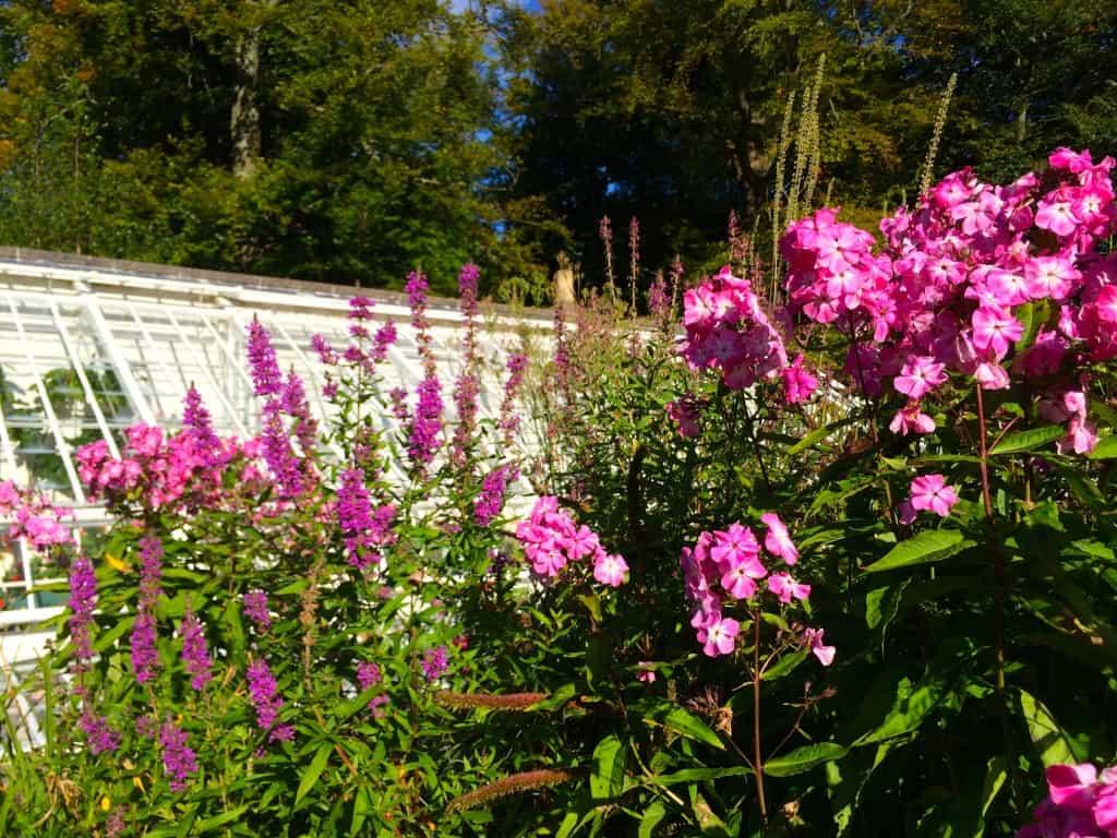 Pink stock at Geilston Garden, Scotland