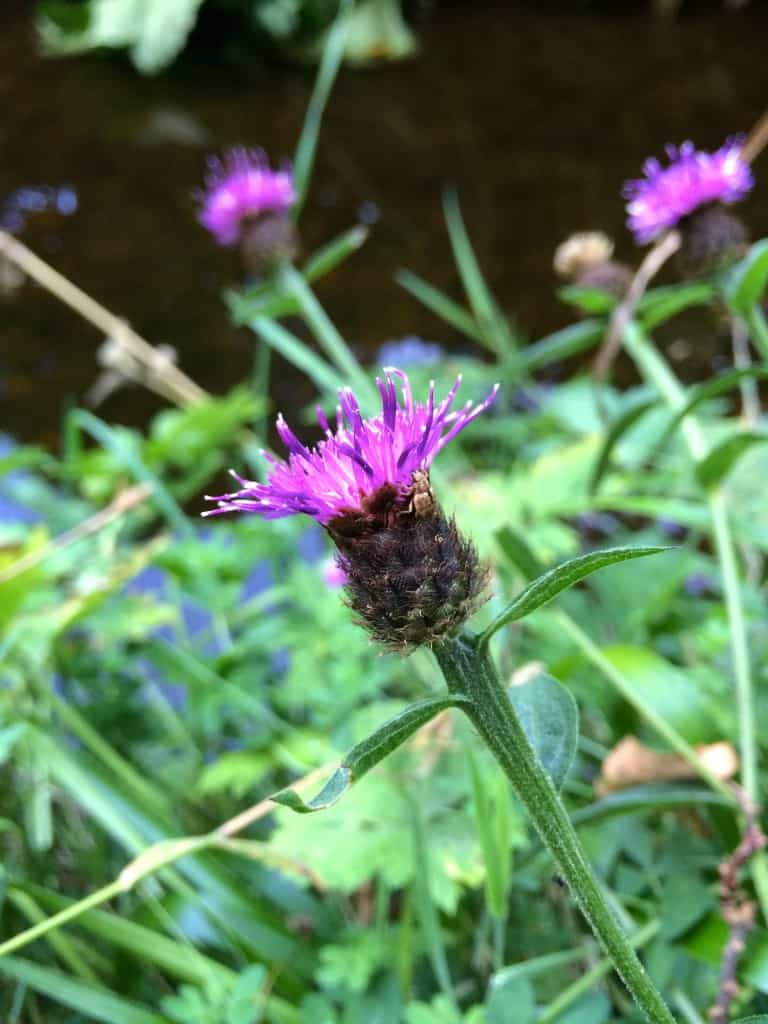 Thistle in Geilston Garden