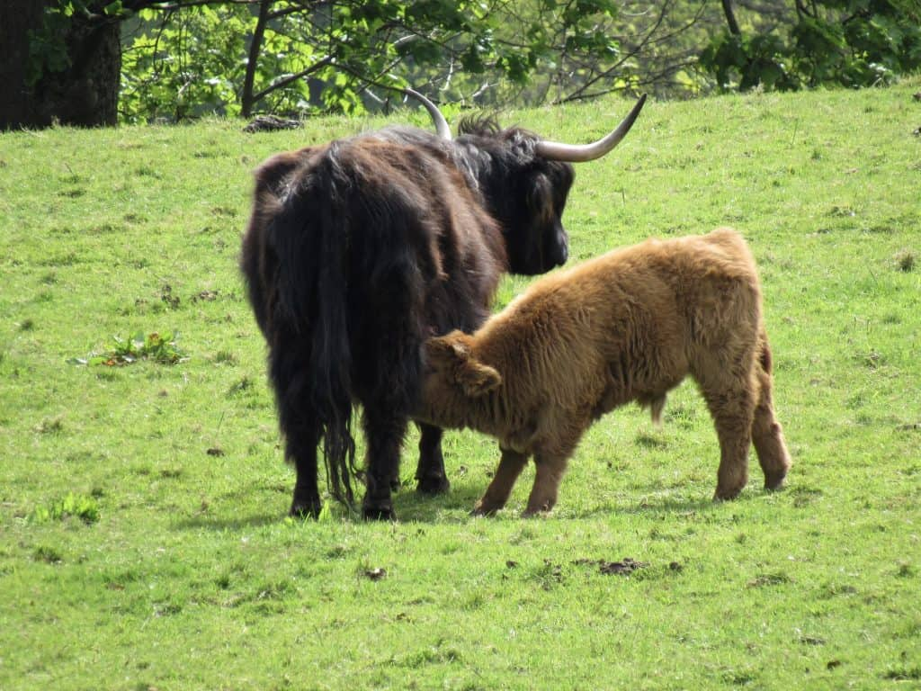 Highland cows (or coos) at Pollock Park in Glasgow