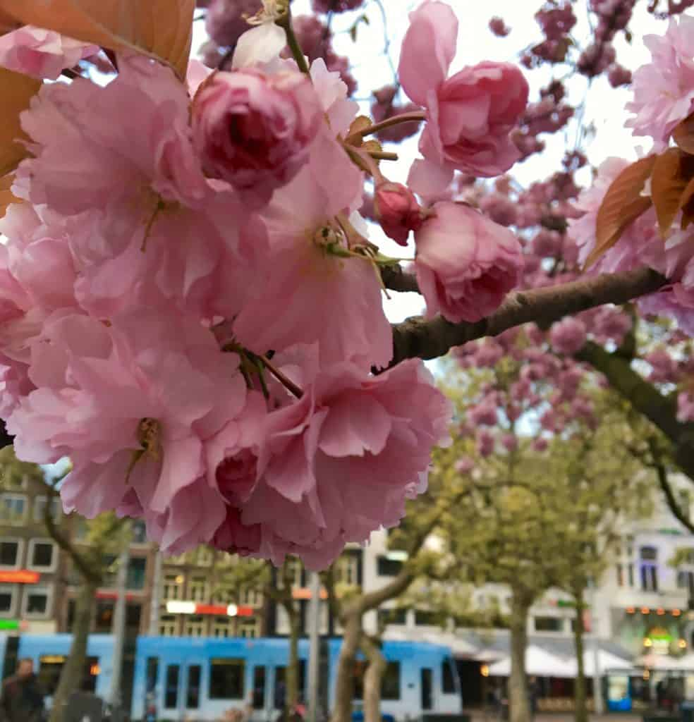 Amsterdam, blossoms
