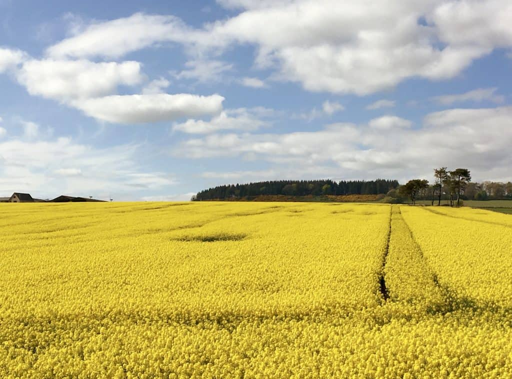 Rape field (canola) in Scotland