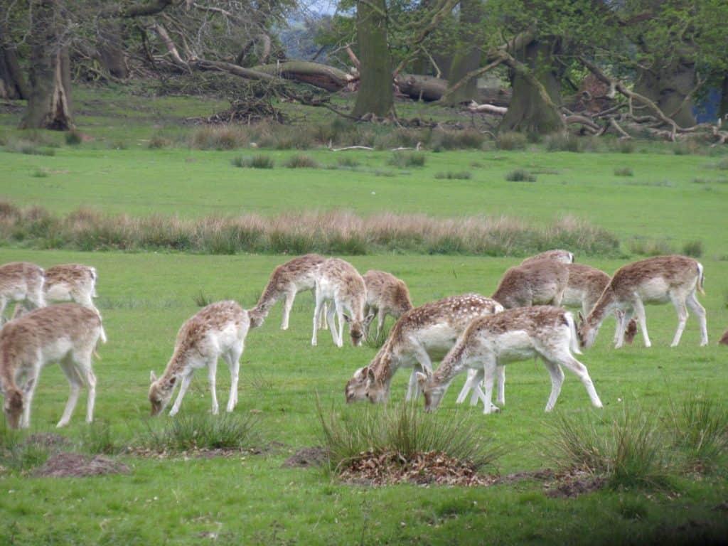 Deer at Tatton Park