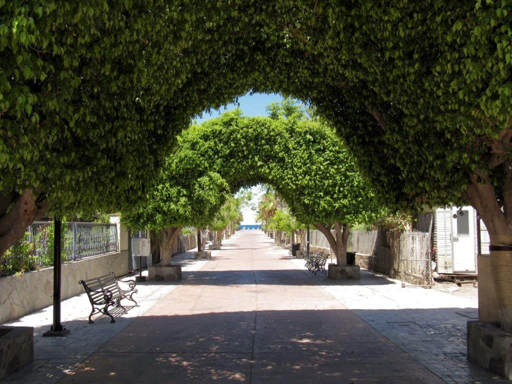 Ficus arches in Loreto Mexico