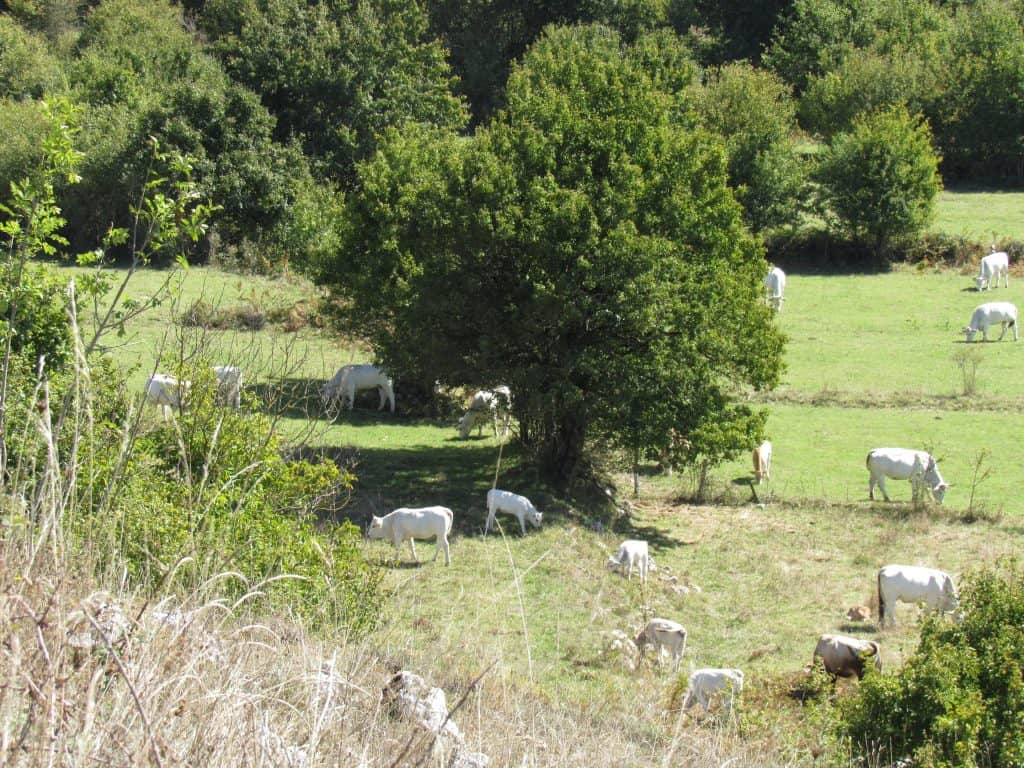 Cows along a scenic Italian road trip