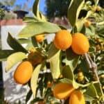 11 Kumquat Recipes from Breakfast to Cocktails