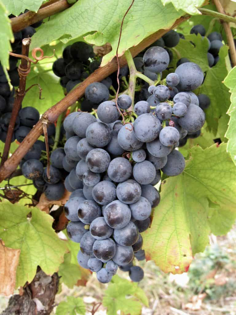 grapes in a French vineyard