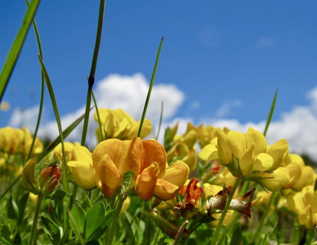 alpine flowers, Bettmeralp