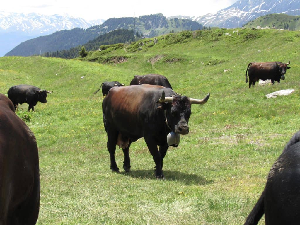 Herens cattle in the Valais region