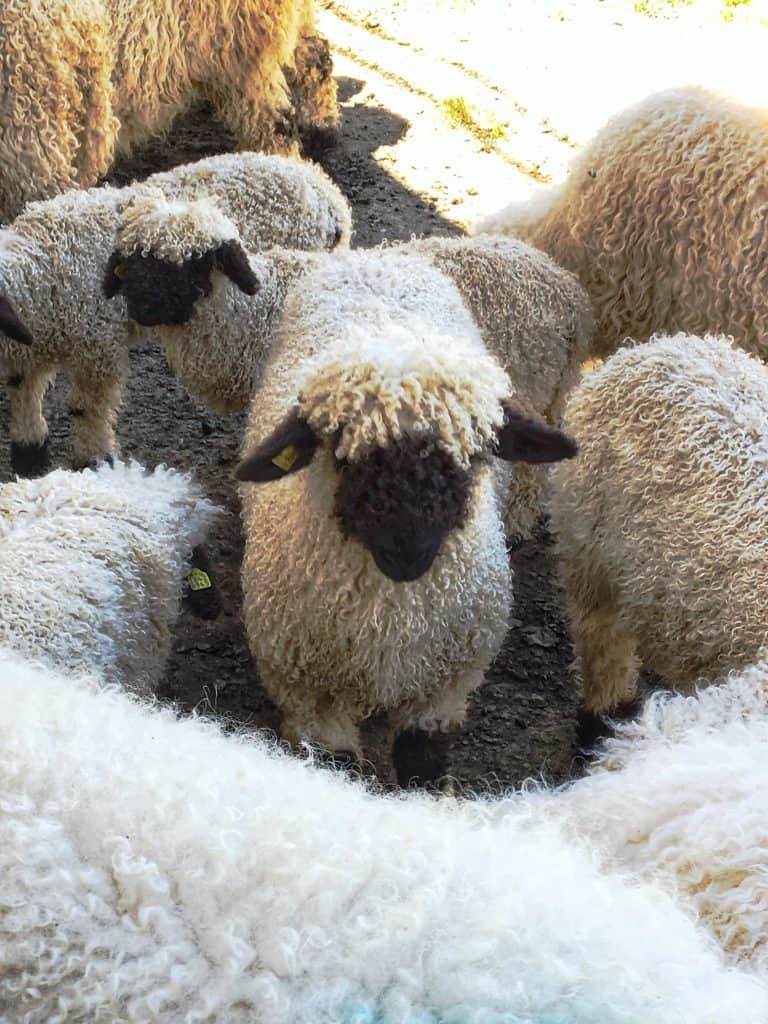Black nosed Valais sheep
