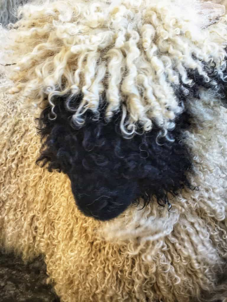 Curls on a Black Nose Valais Sheep