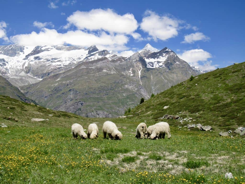 Black nose Valais sheep grazing