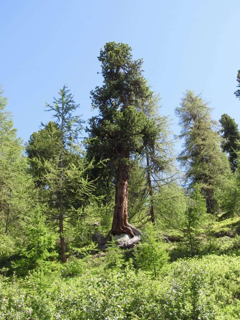 Pine tree growing on rock