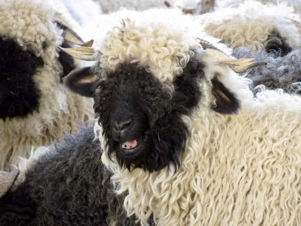 Black nose Valais sheep