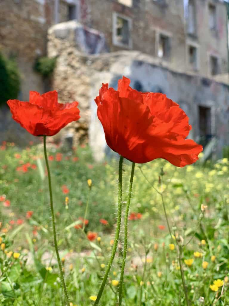 poppies in Lisbon