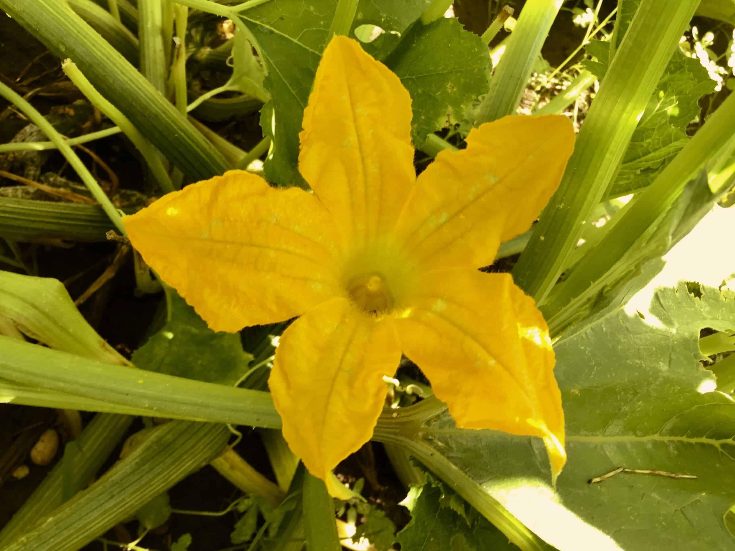 cukinijos gėlė ant augalo