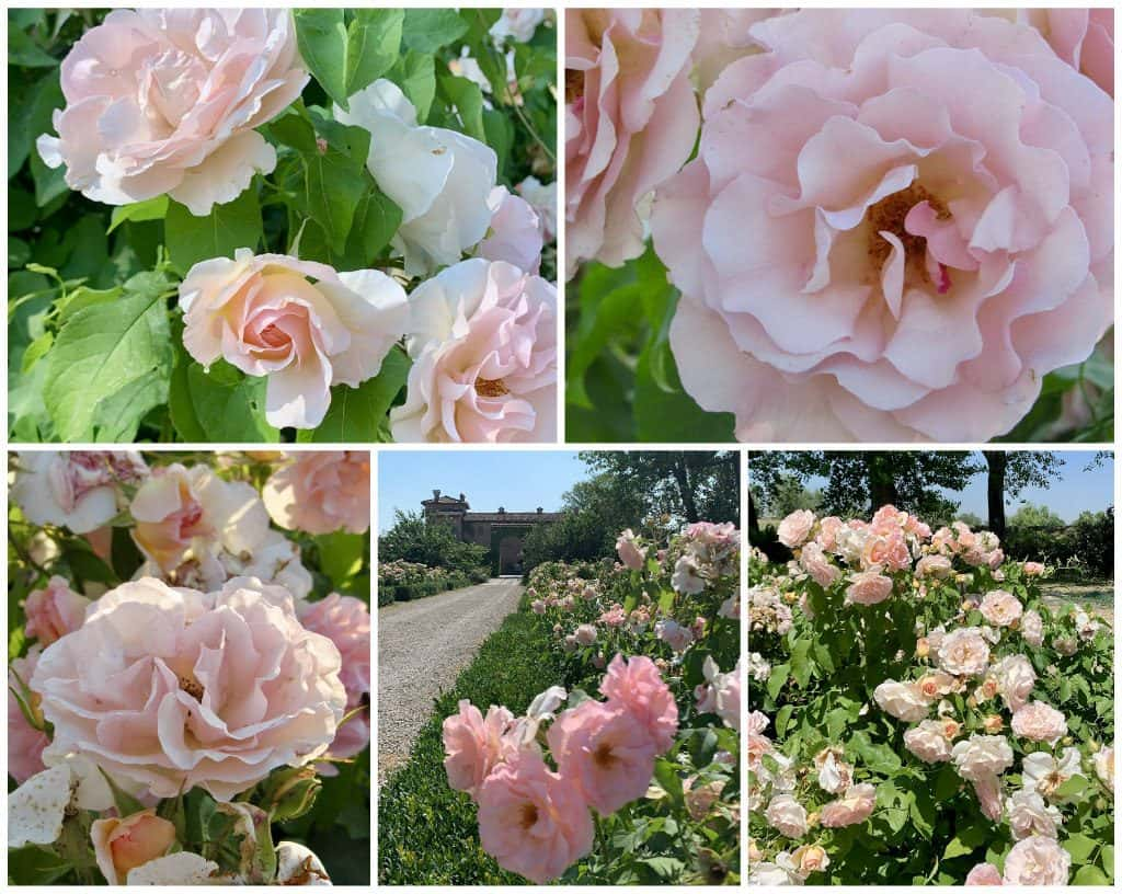 antica corte pallavicina roses