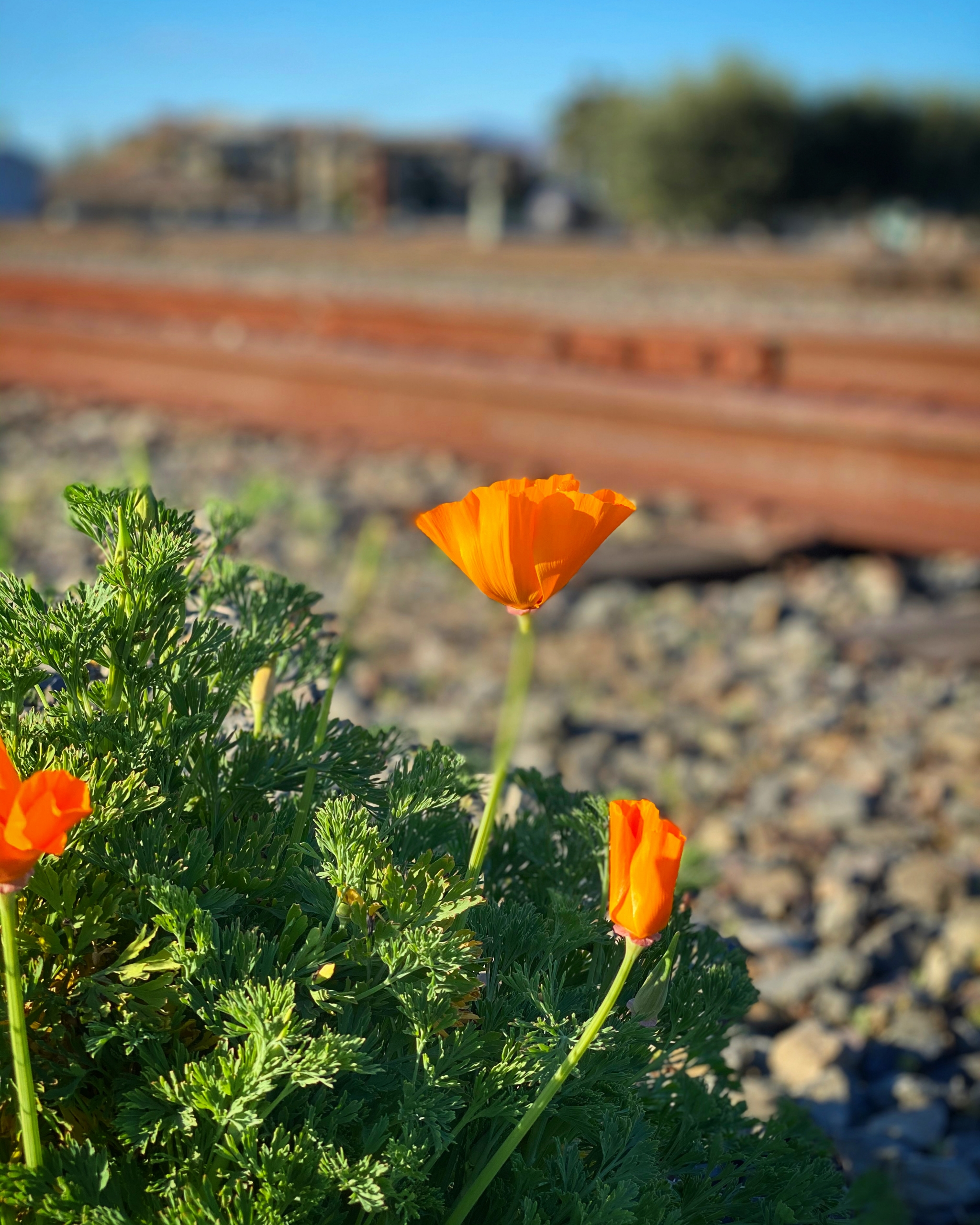 poppies by the railroad